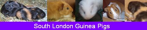 Baby Cavies in South London