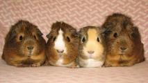 Guinea Pig Farm The Home of Happy Cavies