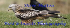 Dave Hutton Birds & Insects Photography