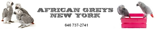 African Greys New York