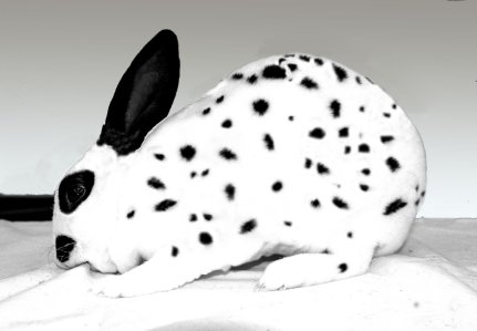 cymru stud rabbits
