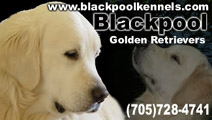 Blackpool Golden Retrievers