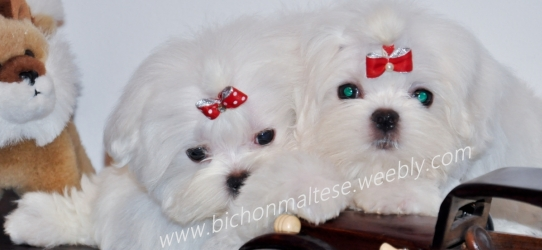 bichon maltese kennel
