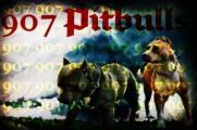 www.907pitbulls.com