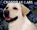 Chambray Labradors