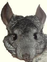 Sharp Chinchillas - Happy Bundles of Joy for all!!!!